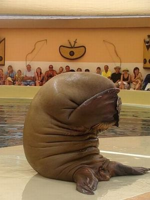 Ashamed walrus is ashamed