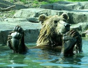 Bear chilling in the pool