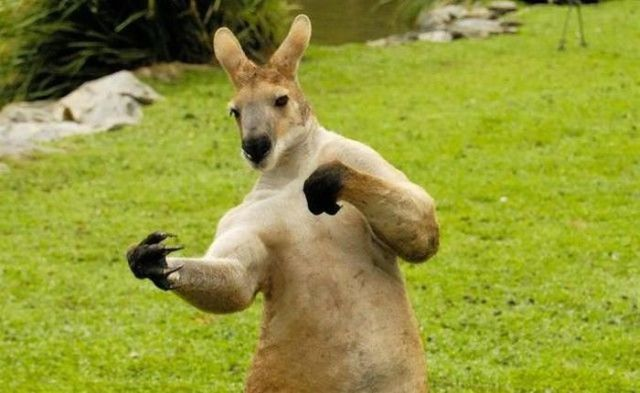 Boxing kangaroo - Funny pictures of animals