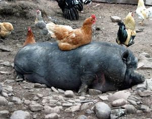 Chicken chilling on a pig