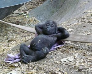 Chilling baby gorilla is chilling