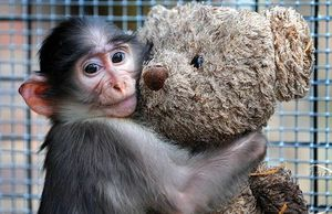 Chimp loves his tedddy bear