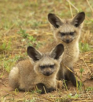 Evil twin foxes