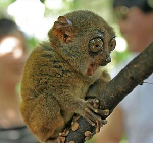 Fascinated tarsier