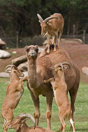 Goats vs. camel