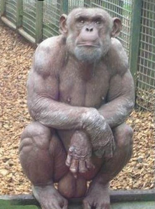 Hairless bodybuilder chimp