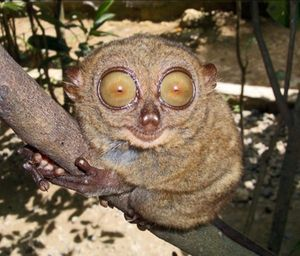 Happy Tarsier