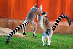 Happy lemurs