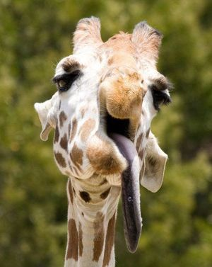 Long tongue giraffe