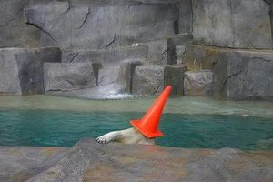 Polar bear with traffic cone