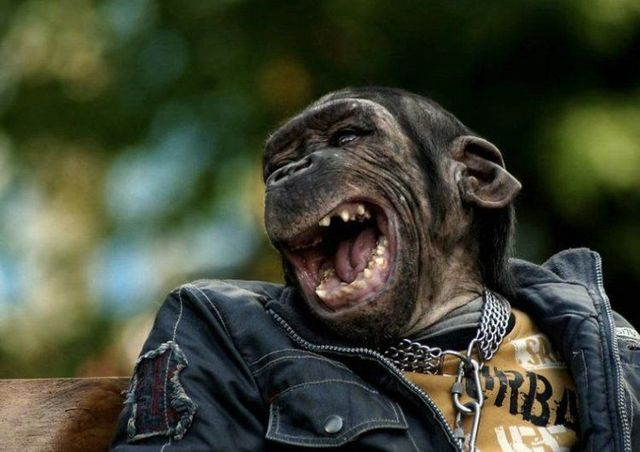 punk chimp funny pictures of animals