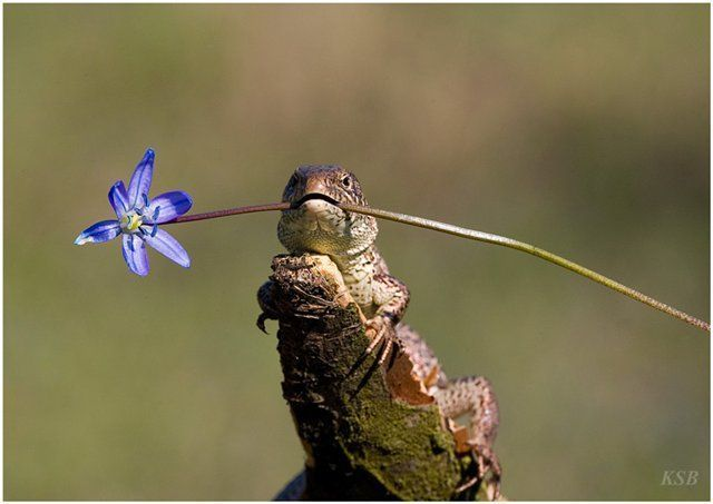 Romantic lizard - Funny pictures of animals