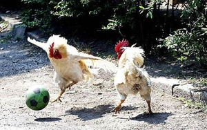Soccer roosters