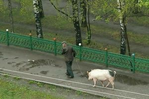 Walking the pig
