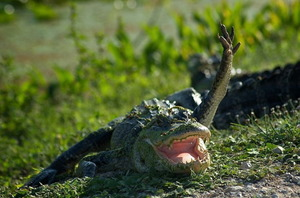 Waving alligator