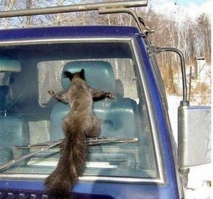 Windshield squirrel