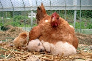 Chicken warming puppy