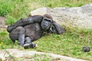 Chilling gorilla lloking at mouse