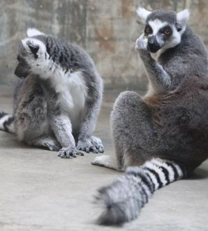 Lemur fuck you