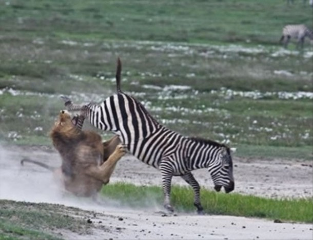 Lion Zebra Hug Lion vs Zebra