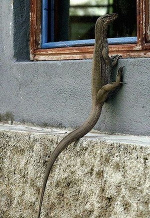 Lizard looking through the window