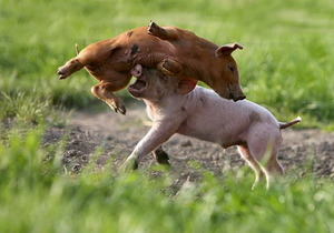 Piglets in action