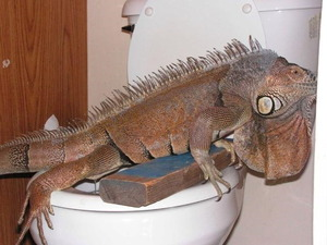 Toilet-trained iguana