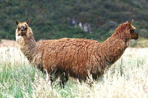 Two-headed llama