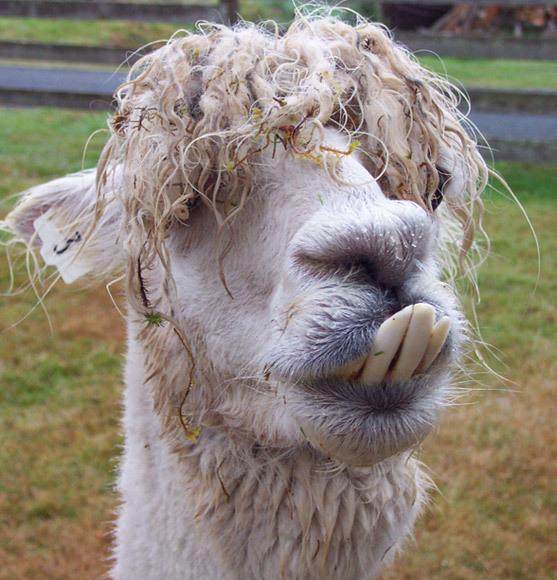 Llamas Making Funny Faces Wet alpaca - Funny pic...