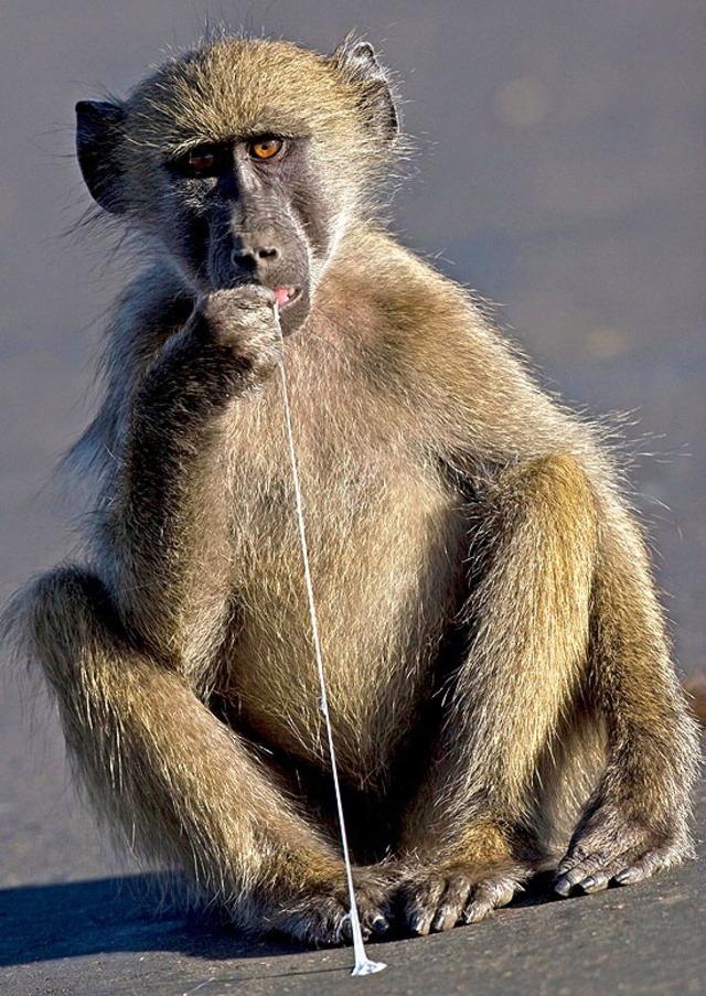 https://www.roflzoo.com/pics/062010/baboon-eating-bubblegum.jpg
