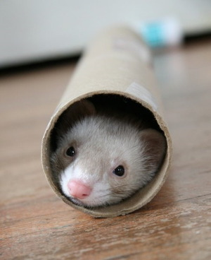 Ferret in a roll