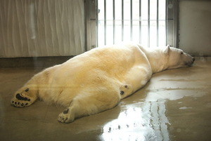 Polar bear lying on the floor