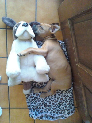 Puppy sleeping with plush dog