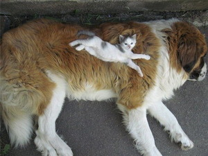 Kitten on a Saint Bernard