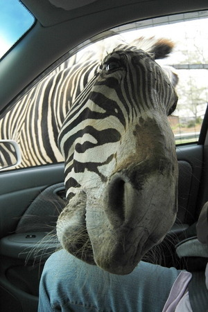 Zebra sticks head inside car