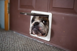 Bulldog peeps through pet hole