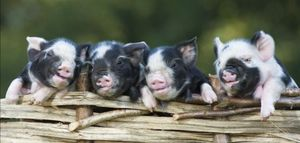 Piglets on the fence