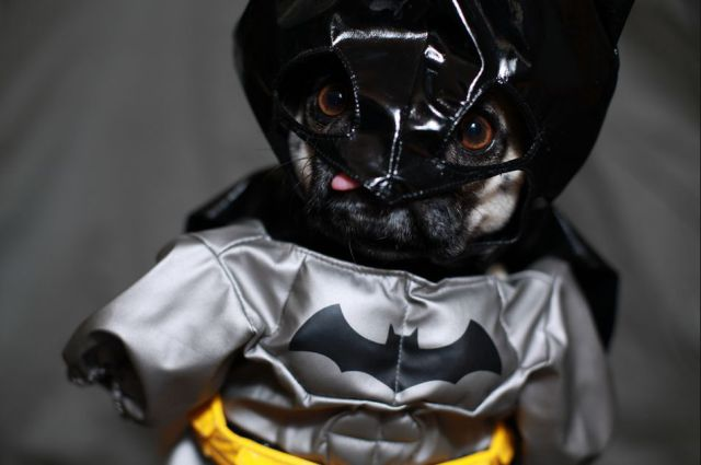 Pug in Batman costume
