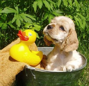 Puppy bathing with his rubber duck