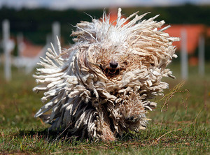 A Komondor dog shakes its long fur