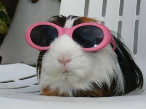 Guinea pig with sunglasses
