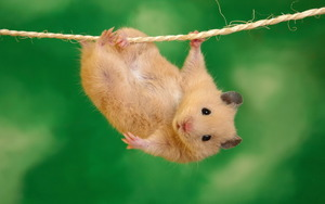 Mouse hanging on a rope