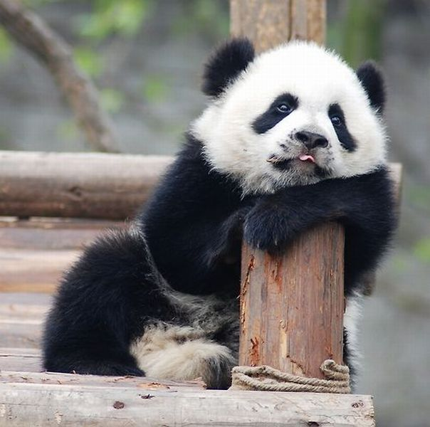 Tired panda  Funny pictures of animals